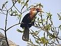 Narcondam Hornbill DSCN2147 14.jpg