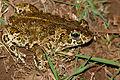 Natterjack Toad (Epidalea calamita) male (16803155731).jpg