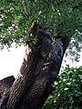 Naturdenkmal - die Silberpappel im Wiener 20.Bezirk 9.jpg