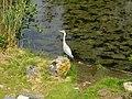 Natuurpark Lelystad - Ardea cinerea.jpg