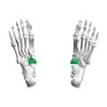 Navicular bone02.png