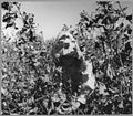 Near Coolidge, Maricopa County, Arizona. Young girl works in cotton field on Saturday morning. Her f . . . - NARA - 522208.jpg