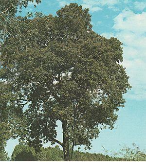 Nectandra - Nectandra saligna