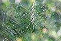 Nephila senegalensis in web 2.jpg