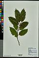 Neuchâtel Herbarium - Ilex aquifolium - NEU000027832.jpg