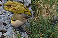 New Zealand Rock wren (Xenicus gilviventris).jpg
