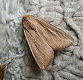 Noctuidae Hadeninae Leucaniini. Mythimna prominens^ Southern Wainscott - Flickr - gailhampshire.jpg