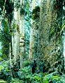 North Auckland Kauri Forest Lantern Slide c1890 - c1910 (17832403125).jpg