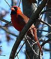 10 / Northern Cardinal