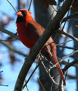 Northern Cardinal Male-27527-2