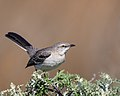 Northern Mockingbird (39505827385).jpg