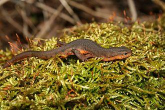 Eastern newt - Image: Notophthalmus viridescens louisianensis