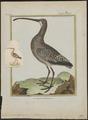 Numenius madagascariensis - 1700-1880 - Print - Iconographia Zoologica - Special Collections University of Amsterdam - UBA01 IZ17400063.tif
