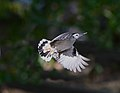 Nuthatch in flight 09-28-2012 042.jpg