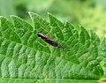 Nymph Heterotoma planicornis (35896641386).jpg