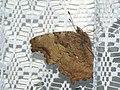 Nymphalis vaualbum - Compton tortoiseshell - Многоцветница v-белое (39343262500).jpg