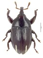 Nyphaeba sp.tif