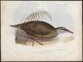 Ocydromus australis - 1845-1848 - Print - Iconographia Zoologica - Special Collections University of Amsterdam - UBA01 IZ17500119.tif