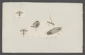 Ocyptera - Print - Iconographia Zoologica - Special Collections University of Amsterdam - UBAINV0274 039 06 0002.tif