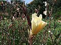 Oenothera odorata 1-OB9.jpg