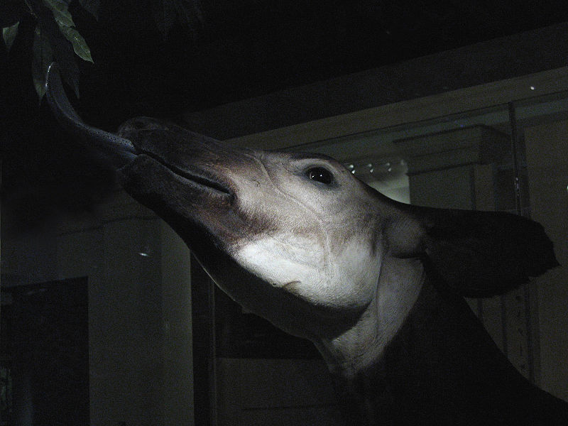 File:Okapi (head).jpg
