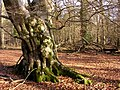 Old beech in the Brick Kiln Inclosure, New Forest - geograph.org.uk - 122941.jpg