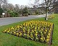 Oldway Mansion Garden, Paignton, fine Spring primulas - geograph.org.uk - 692923.jpg