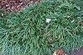 Ophiopogon planiscapus - Flora park - Cologne, Germany - DSC00471.jpg