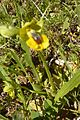 Ophrys lutea blurry (25594832826).jpg
