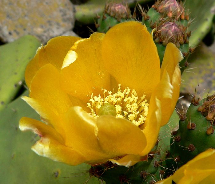 http://upload.wikimedia.org/wikipedia/commons/thumb/1/1e/Opuntia_ficus-indica_3.jpg/699px-Opuntia_ficus-indica_3.jpg