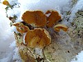 Oranje oesterzwam (Phyllotopsis nidulans).jpg
