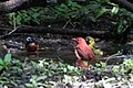 Orchard Oriole (male), Summer Tanager (male) (bathing) Boy Scout Woods High Island TX 2018-04-11 12-44-54 (40901585425).jpg
