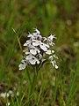 Orchis conica (habitus).jpg