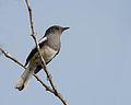 Oriental Magpie-Robin (Female).jpg