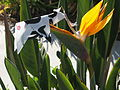 Origami cow on Strelitzia flower.jpg