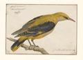 Oriolus galbula - vrouw - 1753-1834 - Print - Iconographia Zoologica - Special Collections University of Amsterdam - UBA01 IZA1000272.tif