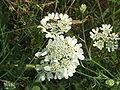 Orlaya grandiflora2.jpg