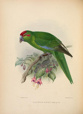 Red-crowned parakeet - Red-crowned parakeet feeding on Fuchsia excorticata by J.G. Keulemans.