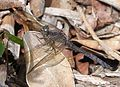 Orthetrum julia falsum. Young Female - Flickr - gailhampshire.jpg