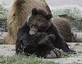 Ourson brun du Kamtchatka.jpg