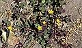 Oxalidales - Oxalis corniculata - 1.jpg