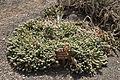 Pájara La Lajita - Oasis Park - Euphorbia fortuita 01 ies.jpg