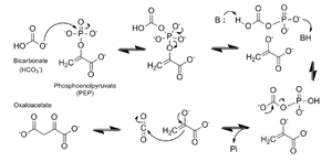 Phosphoenolpyruvate carboxylase - Figure 2: the Phosphoenolpyruvate (PEP) carboxylase enzymatic mechanism converting bicarbonate and PEP to oxaloacetate and phosphate.