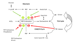 Phosphoenolpyruvate carboxylase - Figure 3: the Phosphoenolpyruvate (PEP) carboxylase regulation pathways