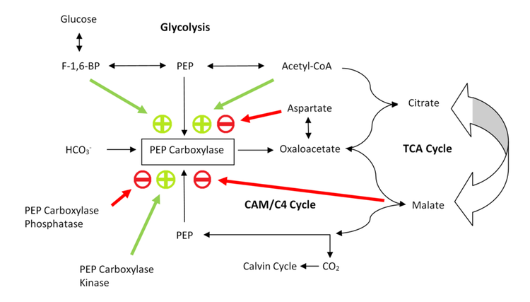 Enzyme regulation[edit]