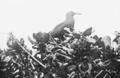 PSM V63 D332 Noddy tern nesting.png