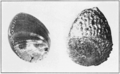 PSM V82 D545 Black and corrugated abalone shells.png