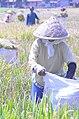 Paddy Field Farmer A.JPG