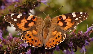 Painted lady - Image: Painted Lady Vanessa cardui Top closer