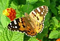 Painted Lady butterfly (Vanessa cardui) (16798703485).jpg